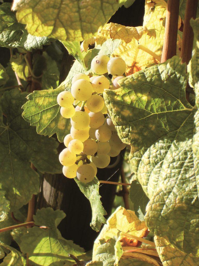 Wein - Traube der Sorte Elbling
