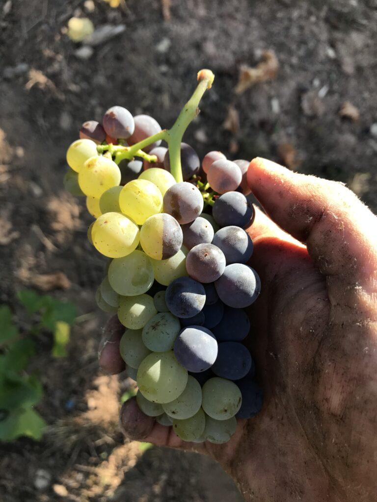 guter Wein direkt beim Winzer kaufen in Nittel an der Mosel